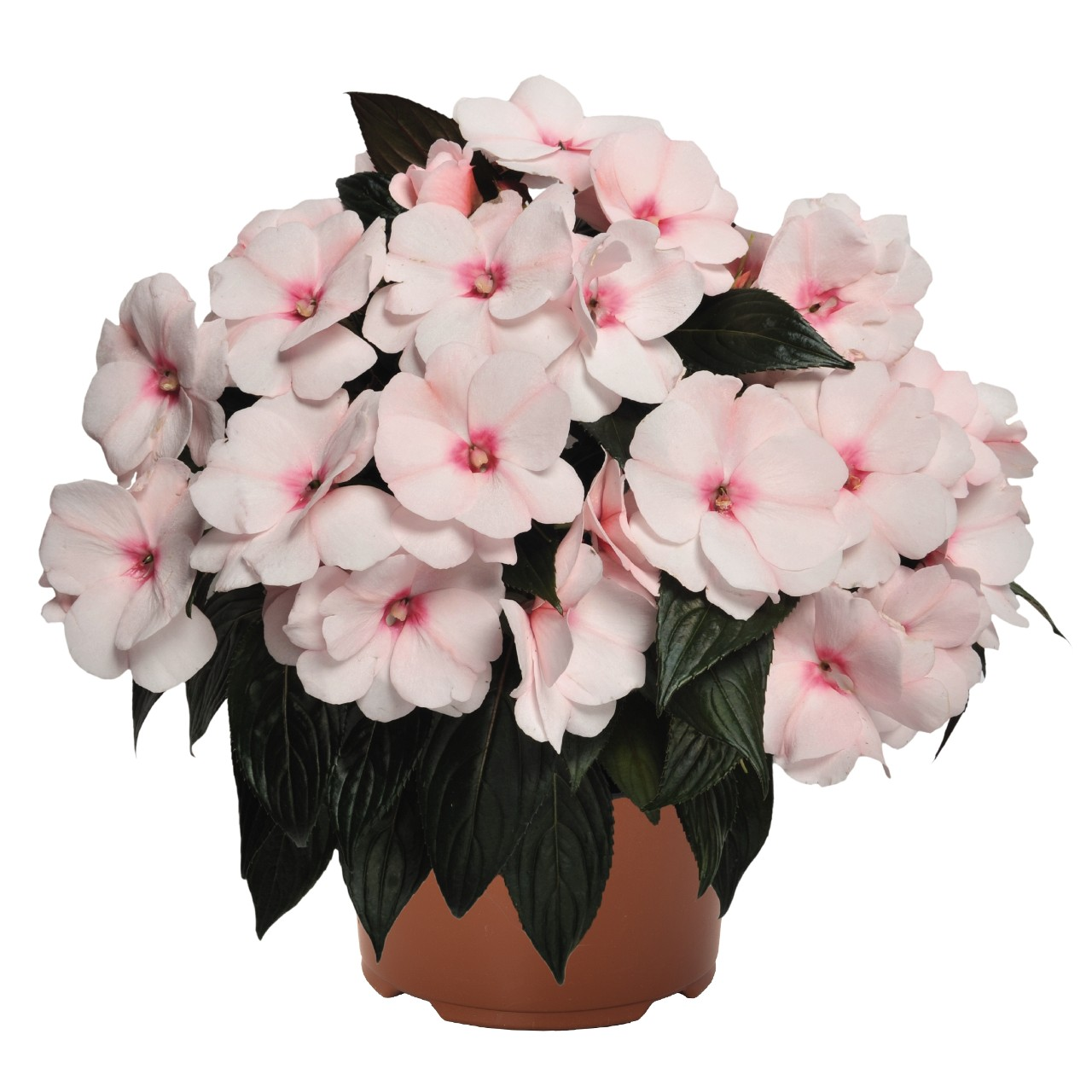 Impatiens Magrnum White BLush