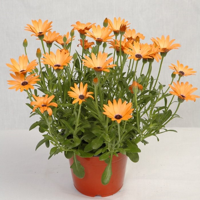 Osteospermum - Margarétka ASTRA ORANGE