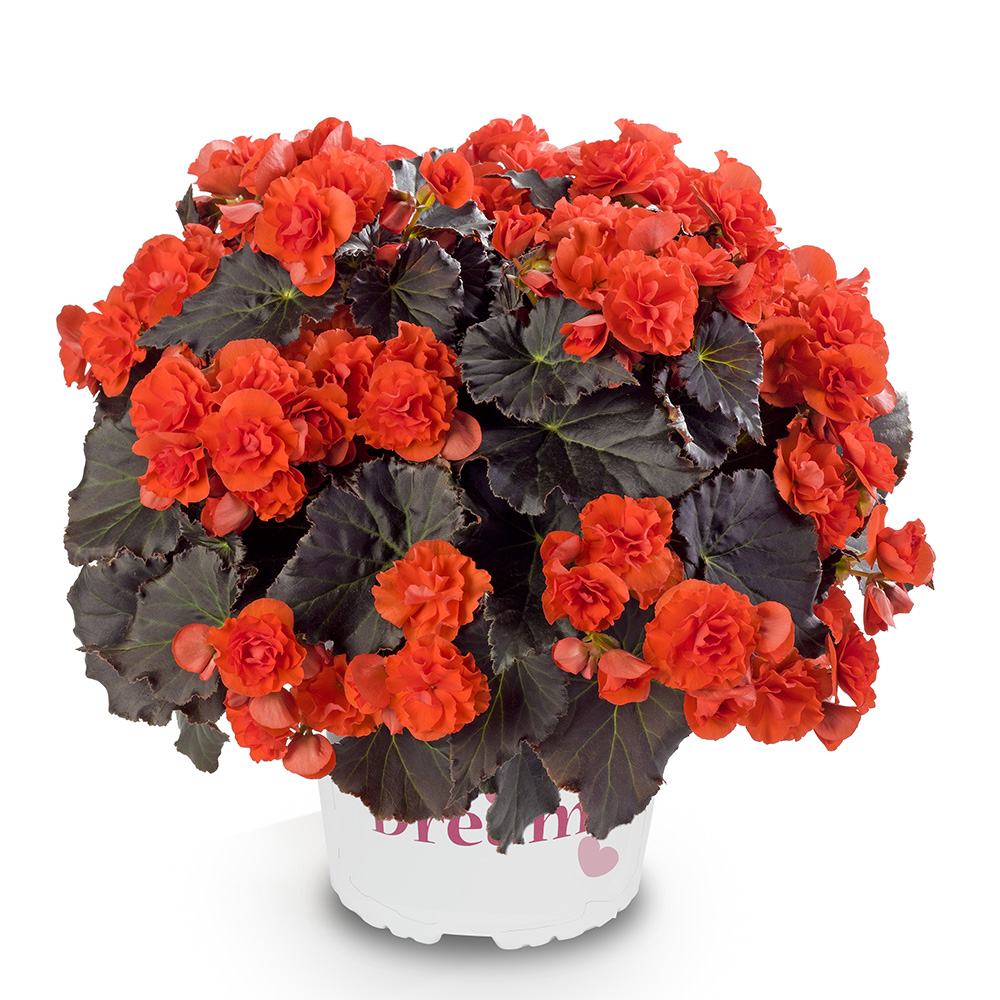 Begonia Solenia Chocolate Orange℗