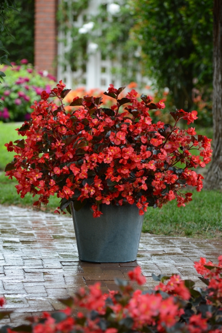 Begonia Megawatt Bronze red