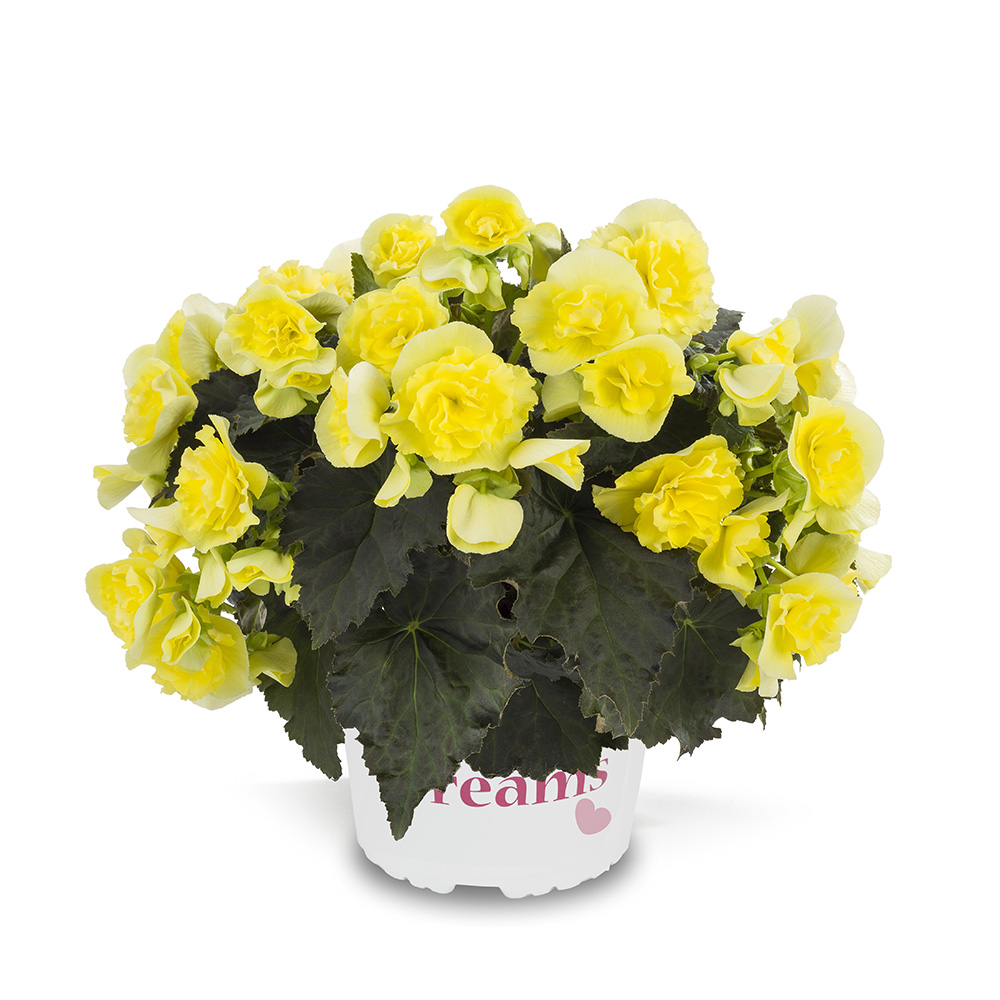 Begonia Solenia Yellow℗