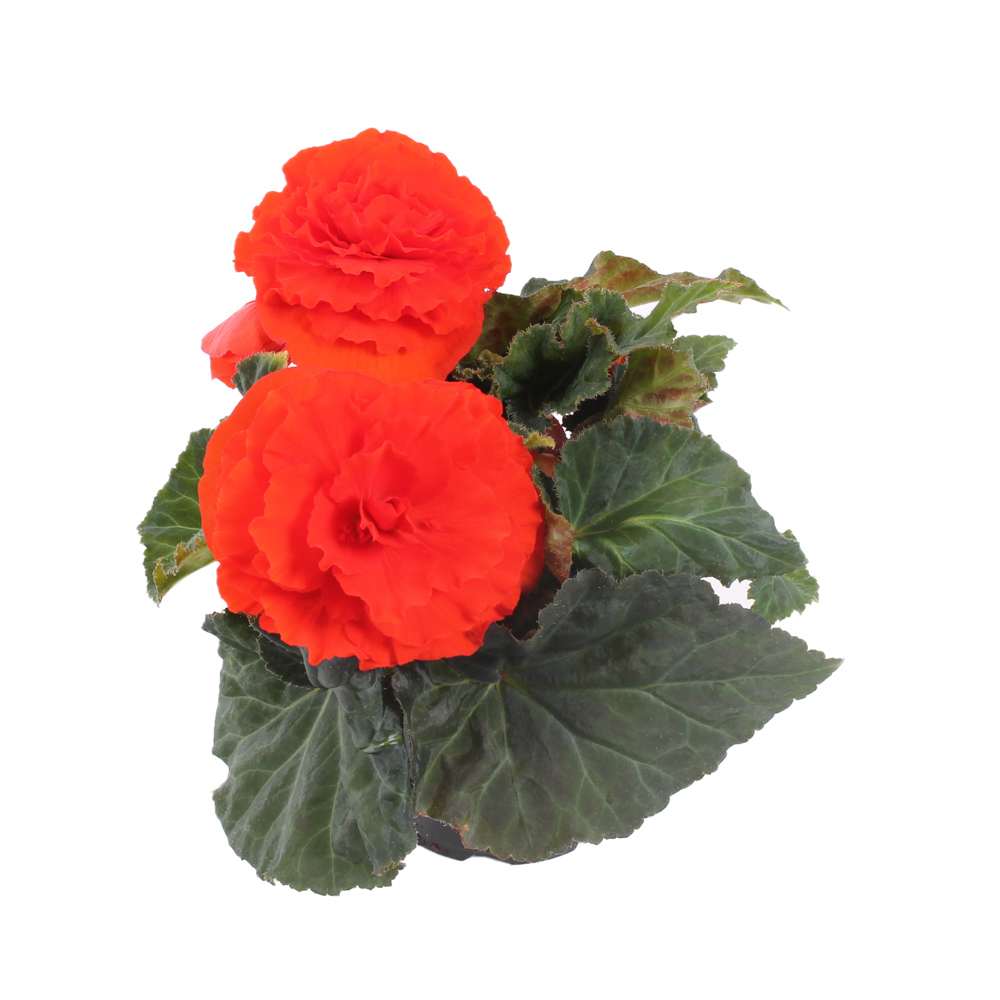 Begonia NON STOP -ORANGE